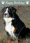 Bernese Mountain Dog-Happy Birthday (No Theme)
